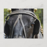 Black Draft Horse Postcard