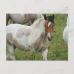 Clipped Paint Horse Postcard