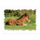 Colt Resting in Grass Postcard