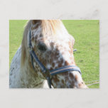 Dappled Appaloosa Horse Postcard