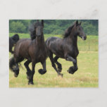Galloping Friesian Horses  Postcard