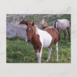 Indian Pony Postcard